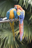Ara macaw parrot. Two ara macaw parrot quarrel Stock Photos