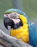 Ara macaw portrait Stock Photos