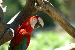 Red ara on the tree. The Ara macaws are large striking parrots with long tails, long narrow wings and vividly coloured plumage. They all have a characteristic Royalty Free Stock Images