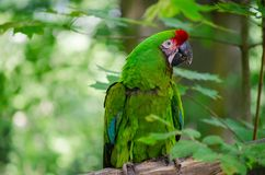 Ara militaris. Is a large parrot living in Central and South America, growing up to 80 cm in size stock images