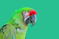 Ara Militaris Military Macaw Green parrot. South and Central america stock photos