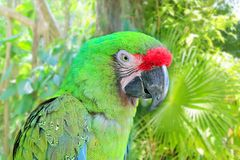 Ara Militaris Military Macaw Green parrot. South and Central america royalty free stock images