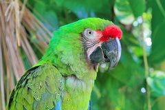 Ara Militaris Military Macaw Green parrot. South and Central america Stock Photography
