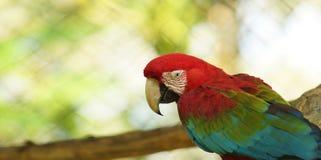 Ara mis en cage en Amazone équatorienne Noms communs : Guacamayo ou Papagayo Photos libres de droits