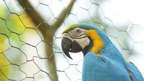 Ara mis en cage en Amazone équatorienne Noms communs : Guacamayo ou Papagayo Photos stock