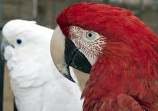 Ara och kakadua Royaltyfria Bilder