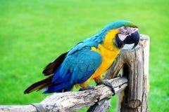Ara ou Ara Ararauna Parrot bleu et jaune Image libre de droits