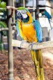 Ara-Papagei auf einem Steuerknüppel Stockbild