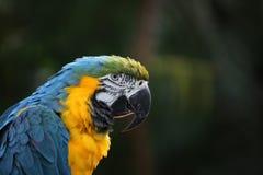 Ara of papegaai met gele en blauwe veren Stock Foto's
