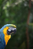 Ara of papegaai met gele en blauwe veren Stock Afbeelding