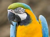 Ara parrot. Ara close-up Royalty Free Stock Photos
