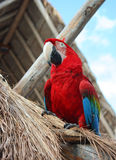 The ara parrot Royalty Free Stock Photos