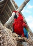 The ara parrot. Photo taken on January,2009 on Cozumel, Mexico Royalty Free Stock Photos