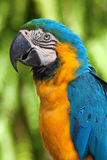 Ara parrot Royalty Free Stock Image