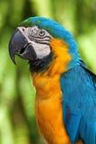 Ara parrot. Colorful yellow-blue ara parrot Royalty Free Stock Image