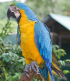 Ara parrot Royalty Free Stock Images