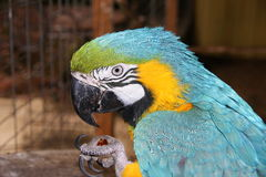 Ara Parrot. Blue and Yello Ara Parrot Royalty Free Stock Image