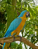 Ara parrot. Beautiful tropical parrot ara sitting on the branch Stock Images