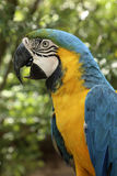 Ara Parrot in Amazon tropical forest. Portrait of Blue-and-Yellow Macaw Parrot, Ara Ararauna Blue-and-yellow macaw in Iguassu, Brazil Stock Photography