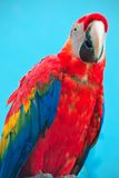 Ara parrot Royalty Free Stock Photography