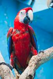 Ara parrot Stock Images