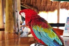 Ara parrot Stock Photography