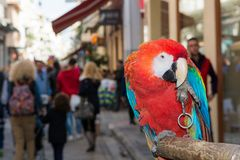 Ara parrot on a busy street. Ara parrot sitting on a pole on a busy street Royalty Free Stock Photo