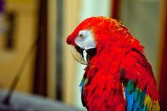 Ara parrot close up view Stock Photography