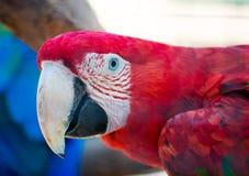 Ara parrot. Royalty Free Stock Photography