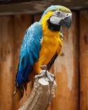Ara parrot closeup. Full length of an Ara parrot on a branch Stock Photos
