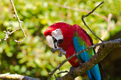 Ara parrot Royalty Free Stock Photos