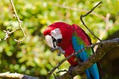 Ara parrot. Colorful Ara parrot on a green bokeh Royalty Free Stock Photos