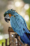 Ara Parrot. Colorful Parrot Ara in Naples, Florida Stock Images