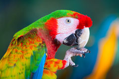 Ara parrot in Cozumel, Mexico Stock Photos