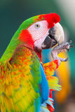 Ara parrot in Cozumel, Mexico Stock Image