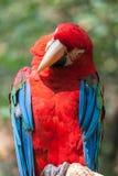 Ara parrot detail Royalty Free Stock Photo
