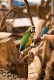 Colorful Ara parrot. Macaw on the branch eating food that feeded. Ara parrot. Macaw on the branch eating food that feeded Royalty Free Stock Photography