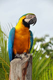 Ara parrot. Orinoco delta, Venezuela Royalty Free Stock Photos
