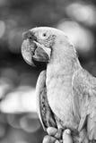 Ara parrot outdoor Royalty Free Stock Photo