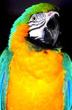 Ara parrot portrait. A portrait of a bright blue and yellow macaw parrot Royalty Free Stock Image