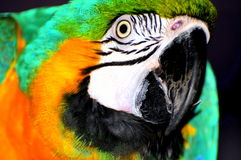 Ara parrot portrait. A portrait of a bright blue and yellow macaw parrot Royalty Free Stock Photos