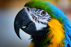 Ara parrot portrait. Ara parrot close  face portrait Stock Image