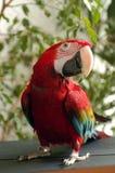 Ara parrot Stock Image