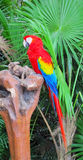 Ara parrot with red, yellow and blue feathers Royalty Free Stock Image