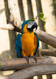 Ara parrot sitting on the branch Stock Image