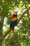 Ara parrot on tree Royalty Free Stock Photography