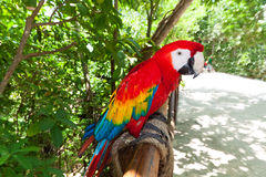 Ara parrot in the wildlife park. Of Mexico Royalty Free Stock Photo