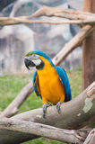 Ara parrot. At the zoo Royalty Free Stock Photo