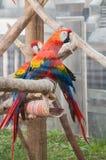 Ara parrot Stock Images