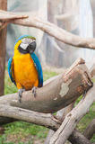 Ara parrot. At the zoo Royalty Free Stock Photography